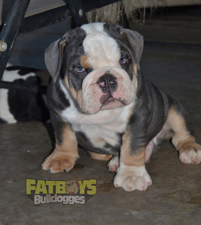 Old English Bulldog Puppies